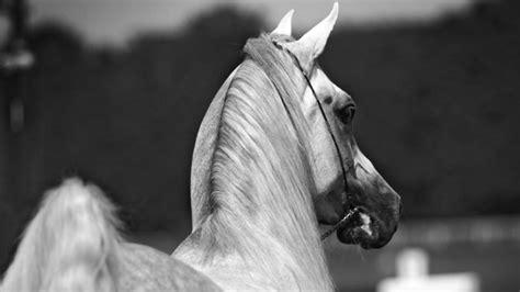 Fondo de caballos en blanco y negro - 1920x1080 :: Fondos ...