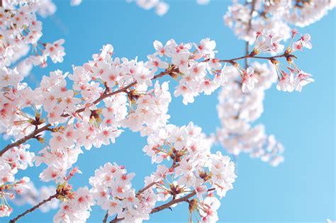 Fondos de Pantalla Primavera Jardíns Cereza Floración de ...