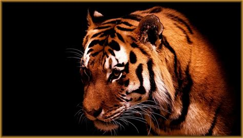 fondos de pantalla tigres bebes Archivos   Imagenes de Tigres