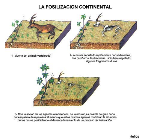 Fosilización | echino
