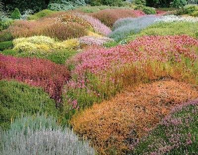 Foto de Plantacion de brezos   Fotos en InfoJardin