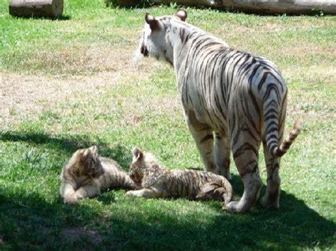 Foto de Zoológico Guadalajara, Guadalajara: Cubs on a rest ...