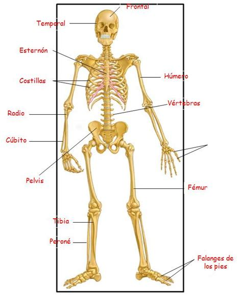 Foto del esqueleto humano y sus partes   Imagui