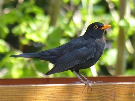Foto gratis: Aves, Mirlo, Negro, Animales - Imagen gratis ...