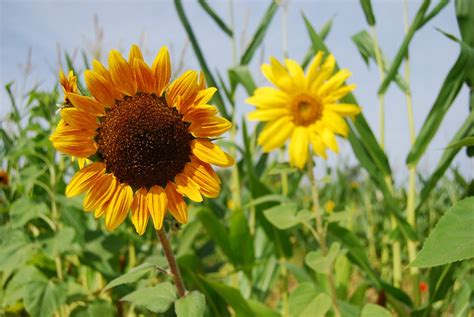 Foto gratis: Girasol, Plantas, Flores, Campo   Imagen ...