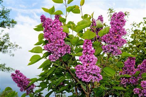 Foto gratis: Lila, Arbustos Ornamentales, Flores - Imagen ...