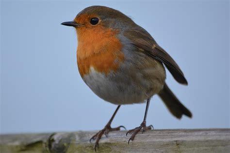 Foto gratis: Robin, Ave, Naturaleza   Imagen gratis en ...