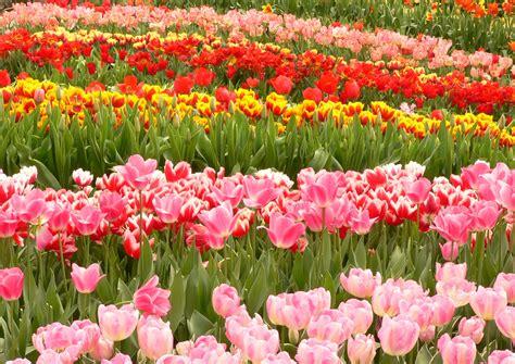 Foto Tulipanes holandeses en Amsterdam - Ociogo