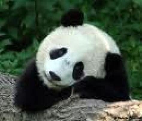 Fotos de Cs.Naturales:Los Osos Pandas