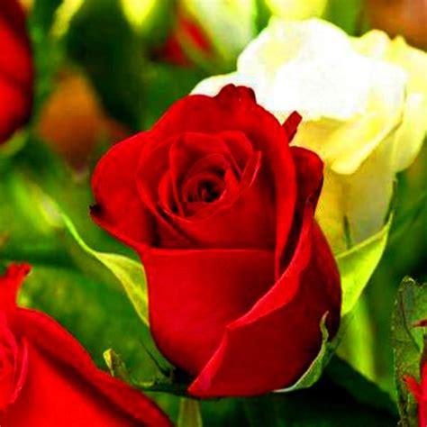 fotos de flores blancas hermosas 2.jpg  600×600    rosa ...