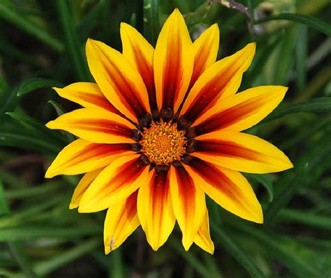 Fotos de flores: VARIEDAD DE FLORES DE LA GAZANIA