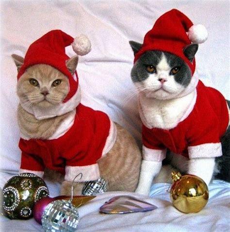 Fotos de gatos vestidos de navidad   Imágenes De Navidad