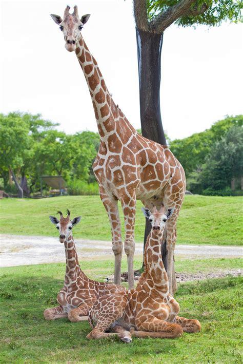 Fotos de jirafas bebés - Imagui