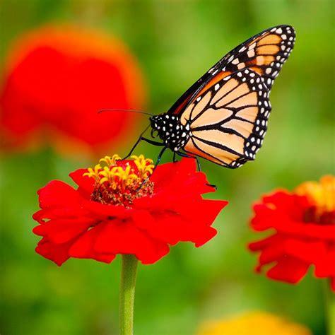 Fotos de mariposas Monarca :: Imágenes y fotos