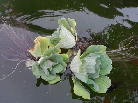Fotos de mi estanque de 6000 litros con peces cometa
