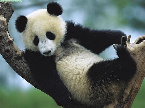Fotos de osos panda