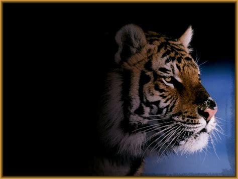 Fotos de Tigres para Fondo de Pantalla HD   Fotos de Tigres