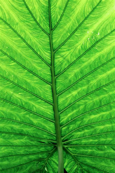 Fotos gratis : clorofila, hojas, vegetación, grande, hoja ...