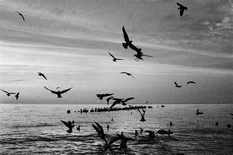 Fotos gratis : mar, pájaro, en blanco y negro, ave marina ...