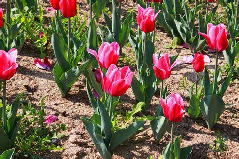 Fotos gratis : paisaje, naturaleza, flor, tulipán ...