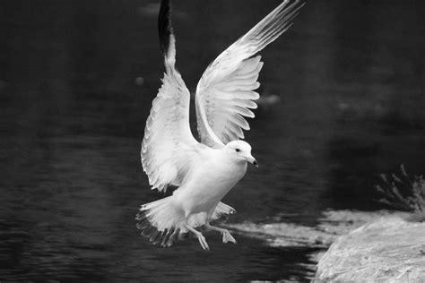 Fotos gratis : pájaro, ala, en blanco y negro, pico ...