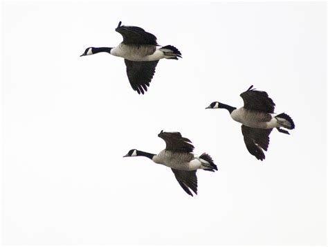 Fotos gratis : pájaro, ala, vuelo, fauna, aves, alas ...