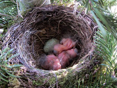 Fotos gratis : pájaro, primavera, fauna, huevo, nido de ...