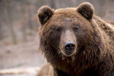 Free photo: Bear, Brown Bear, Wildlife, Nature   Free ...