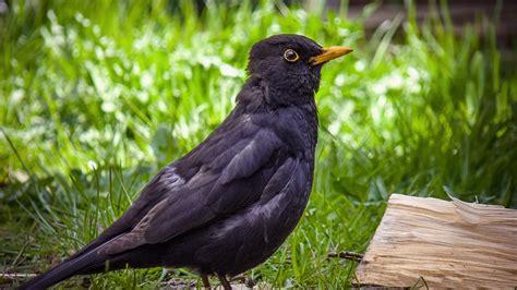Free photo: Blackbird, Bird, Birds, Black - Free Image on ...