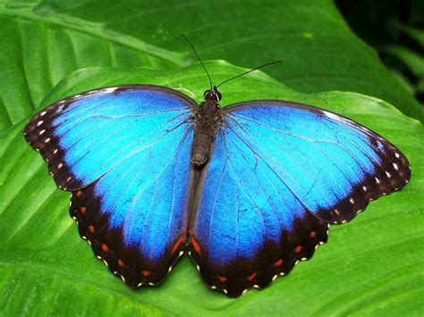 Free photo: Butterfly, Blue, Insect - Free Image on ...