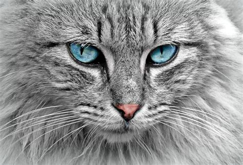 Free photo: Cat, Animal, Cat Portrait, Mackerel   Free ...
