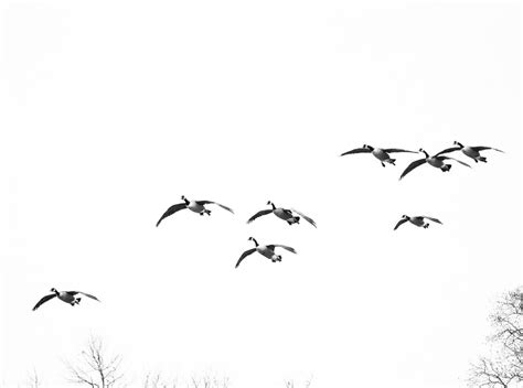 Free photo: Geese, Birds, Birds Flying - Free Image on ...