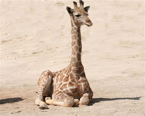 Free photo: Giraffe, Baby Giraffe, Mammal - Free Image on ...