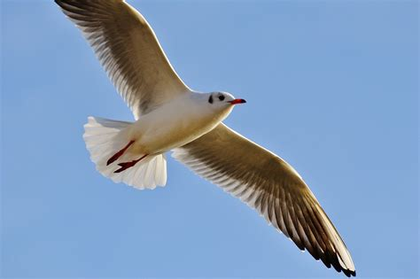 Free photo: Seagull, Fly, Bird, Animal - Free Image on ...