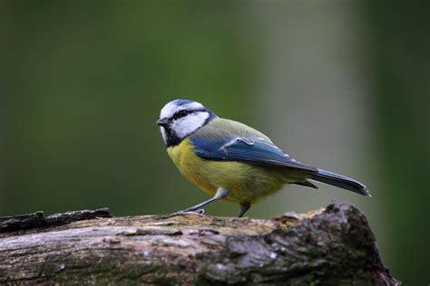 Free stock photo of bird, blue tit, cute