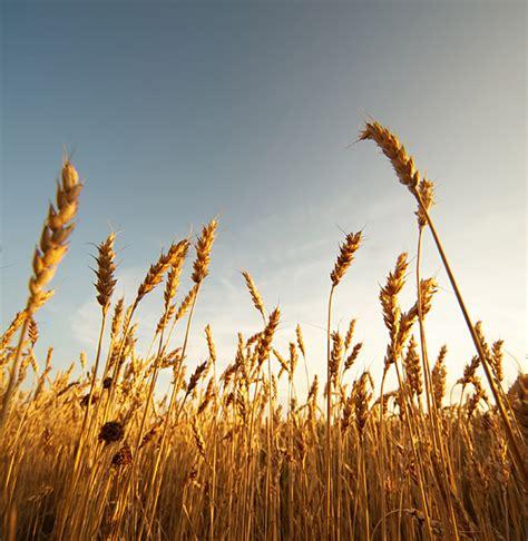 Free Stock Photo: Wheat Field   The Shutterstock Blog