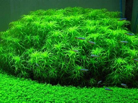 Freshwater Live Aquarium Plants Care Guide