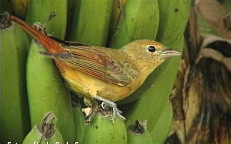 Frugívoras, las aves que comen frutas   La Nota Latina