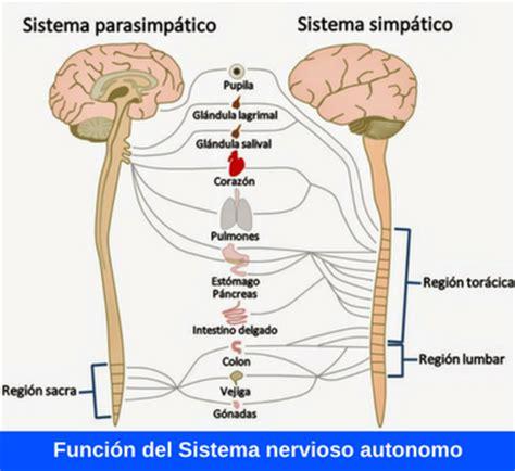 Función del sistema nervioso autónomo ¿Cómo funciona?