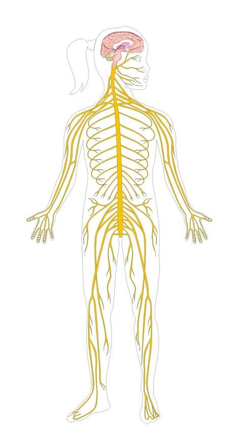 Funciones Coordinadas del Sistema Nervioso ~ TodoCiencias