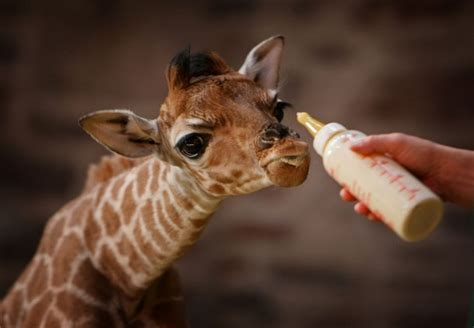 Funny baby giraffes  Funny Animal