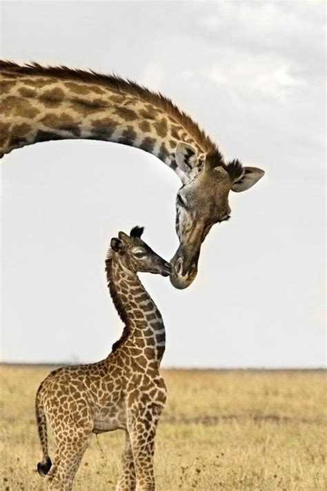 Funny mom and baby giraffe  Funny Animal