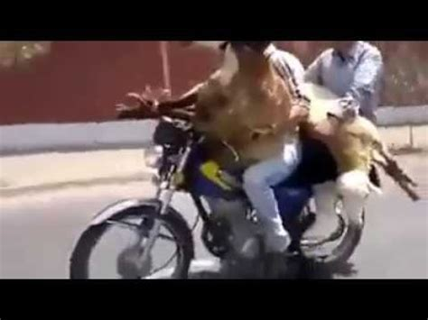 Funny Video Goat Riding Motorcycle | Funny videos | Goat ...