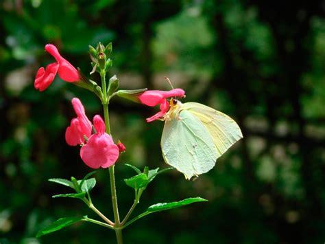 Galería de imágenes: Mariposas cleopatra
