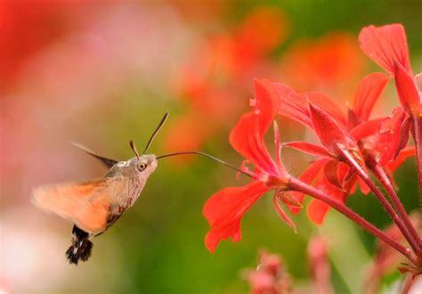 Galería de imágenes: Mariposas colibrí
