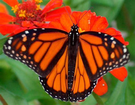 Galería de imágenes: Mariposas Monarca