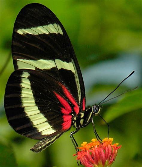 Galería de imágenes: Mariposas venenosas