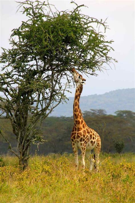 Galería | Los secretos de las jirafas