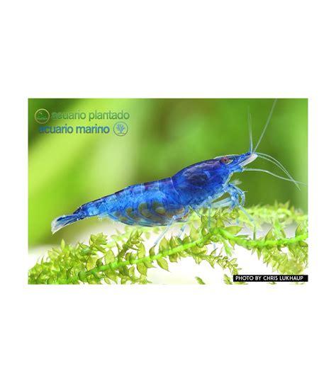 Gambas de acuario Blue Velvet