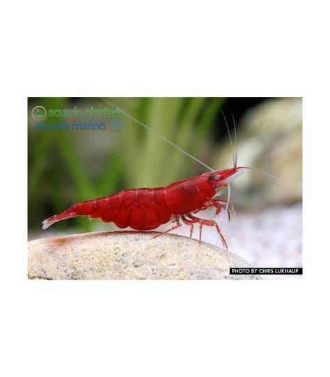 Gambas de acuario Red Sakura
